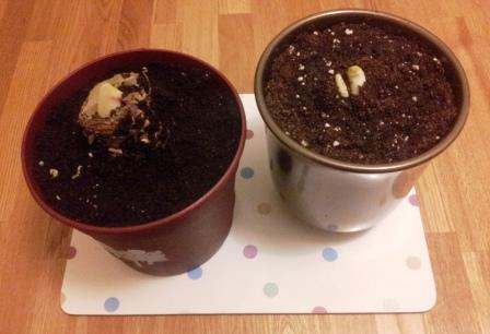 Amaryllis and Narcissi growth